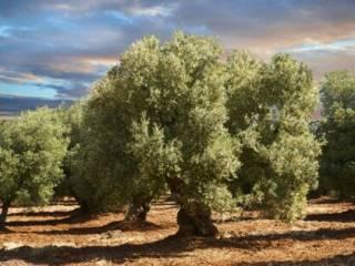 Foto - Terreno agricolo in Vendita a Ceglie Messapica